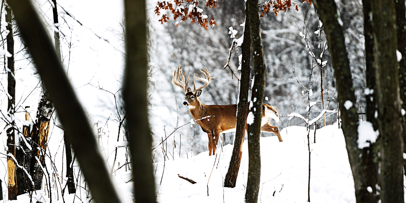 A large, alert buck seen through the trees