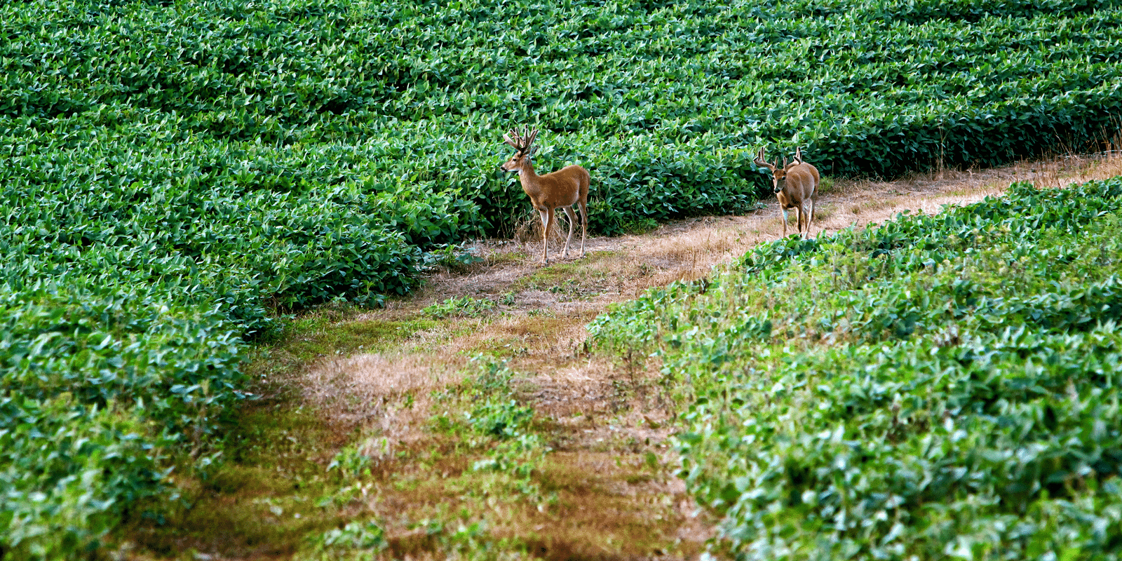 Two bucks walking on tractor trail between two fields