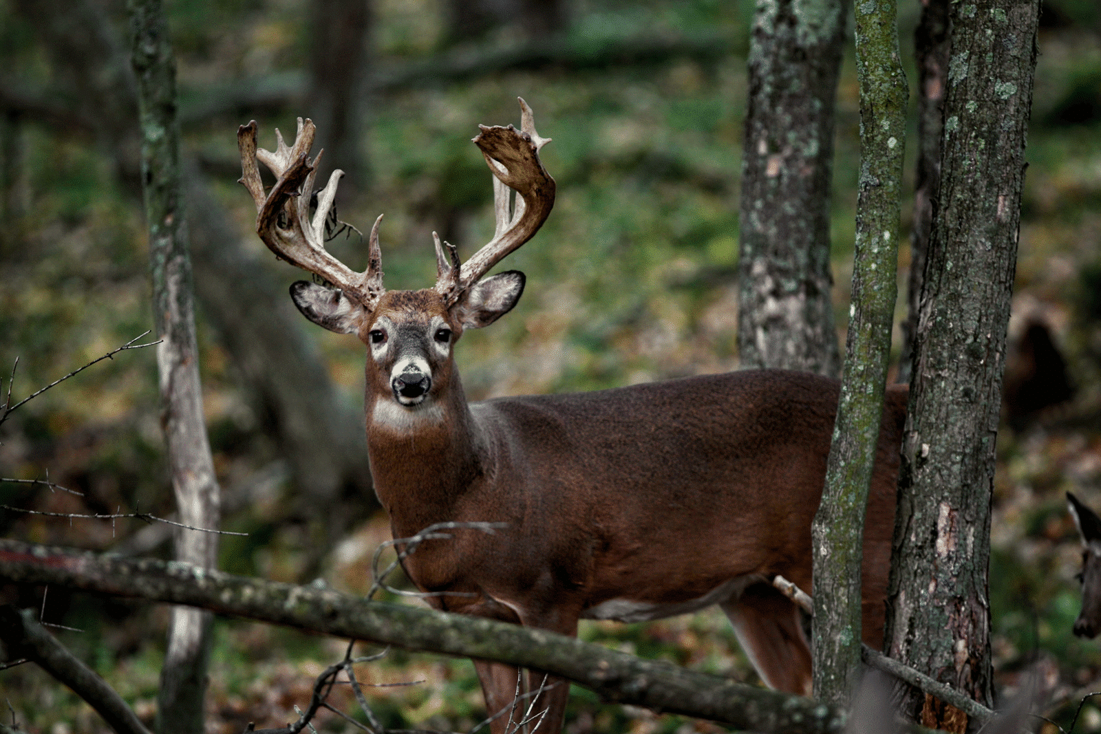 A buck with rut in his antlers in dark green, fall woods