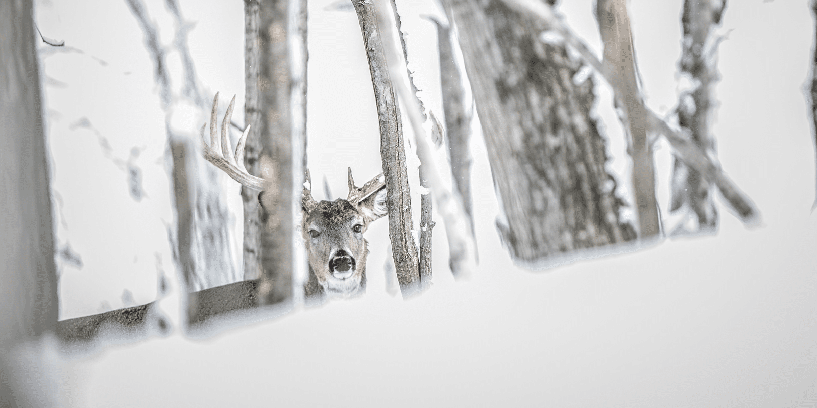 A buck peaking through snow trees