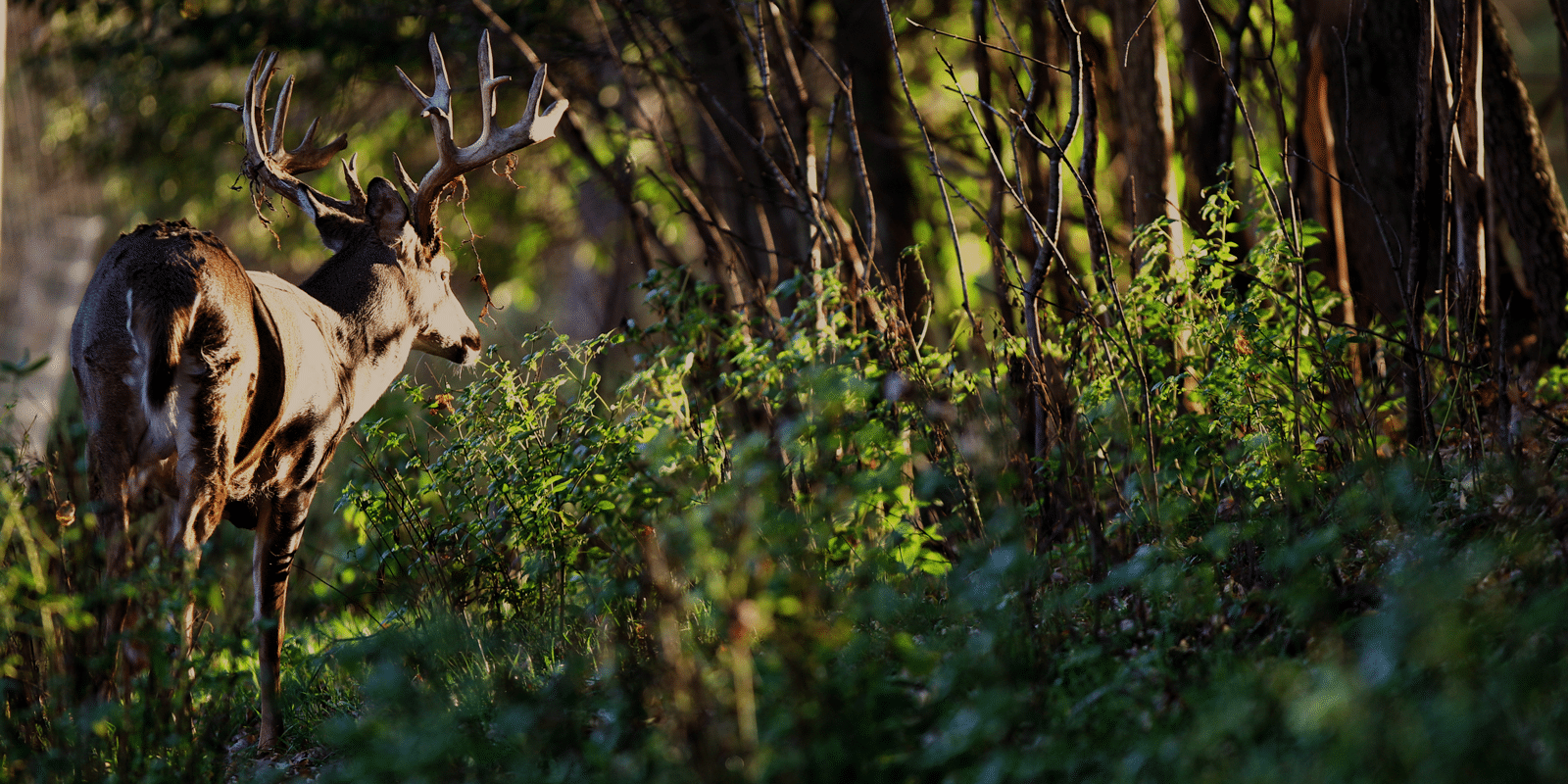 A buck at the edge of the woods looking towards the sun through trees