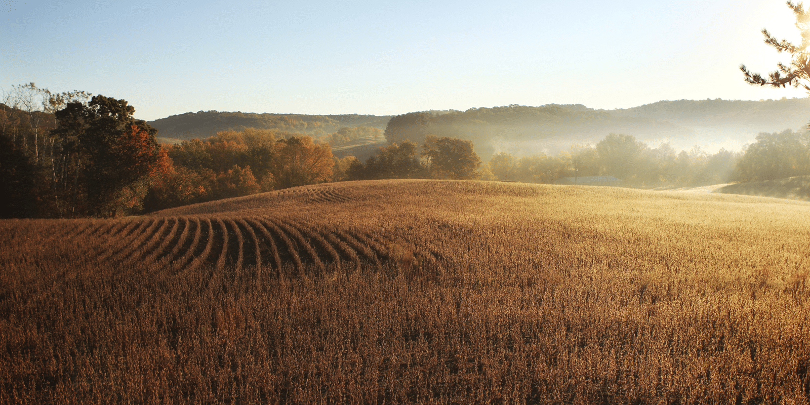 A golden, sunlit cornfield with fog over trees in the background